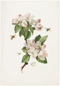 Apple Blossoms and Bees
