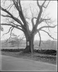 Tree transplanted in 1729, Cohasset, Mass.