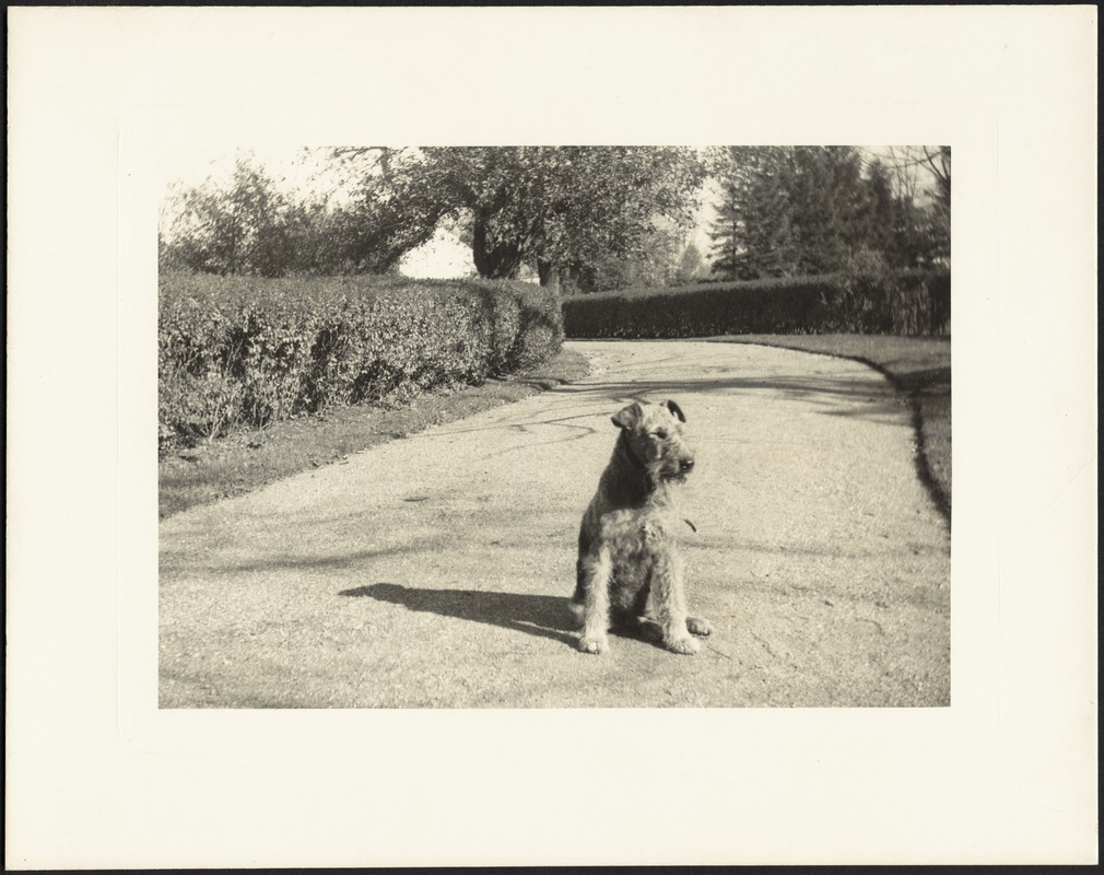 Airedale sitting in drive