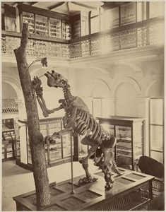 Dinosaur, Museum of Natural History, Clarendon St. between Newbury & Boylston. Built 1862 by W. G. Preston, now Bonwit Teller