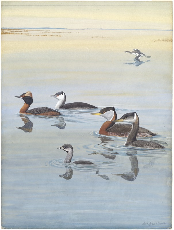 Panel 1: Horned Grebe, Holboell's Grebe, Pied-billed Grebe