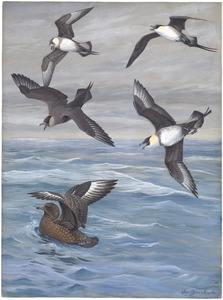 Panel 4: Long-tailed Jaeger, Parasitic Jaeger, Pomarine Jaeger, Skua