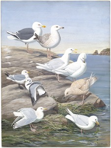 Panel 5: Great Black-backed Gull, Glaucous Gull, Kittiwake, Kumlien's Gull, Iceland Gull