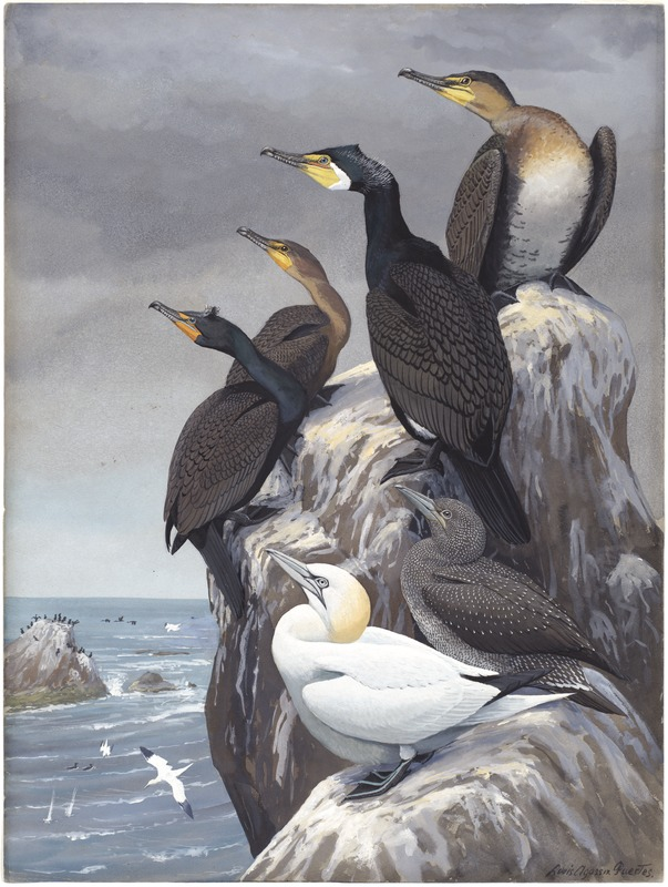 Panel 10: Cormorant, Double-crested Cormorant, Gannet
