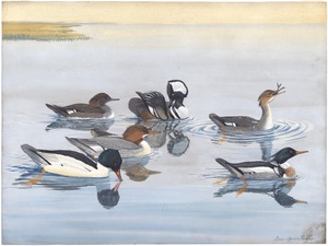 Panel 11: Hooded Merganser, Red-breaster merganser, Merganser