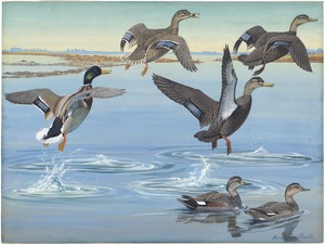 Panel 12: Mallard, Black Duck, Red-legged Black Duck, Gadwall