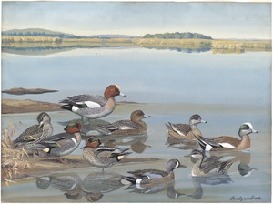 Panel 13: Baldpate, European Widgeon, Green-winged Teal, European Teal, Blue-winged Teal