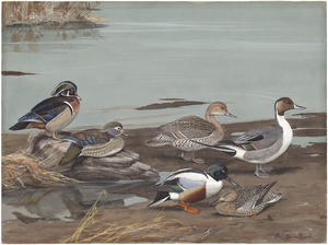 Panel 14: Wood Duck, American Pintail, Shoveller
