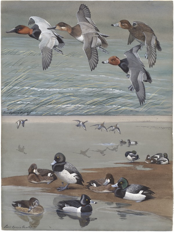 Panel 15: Canvas-back, Redhead, Lesser Scaup Duck, Scaup Duck, Red-necked Duck
