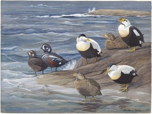 Panel 17: King Eider, Northern Eider, Harlequin Duck, Eider