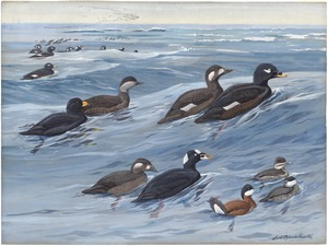 Panel 18: American Scoter, White-winged Scoter, Surf Scoter, Ruddy Duck