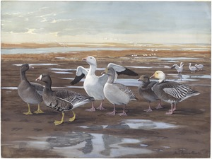 Panel 19: White-fronted Goose, Greater Snow Goose, Blue Goose