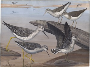 Plate 30: Spotted Sandpiper, Solitary Sandpiper, Greater Yellow-legs, Yellow-legs