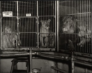 African lion cubs, born March 10th 1944
