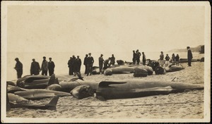 Group of people with beached dolphins