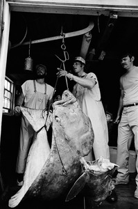 Fisherman weighs huge flounder, Monhegan Island, Maine