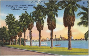 Washingtonian (petticoat) Palms, along St. John's River, Jacksonville, Florida