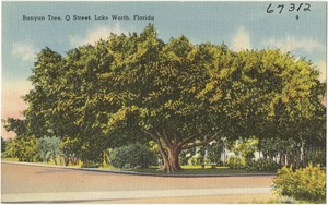 Banyan tree, Q Street, Lake Worth, Florida