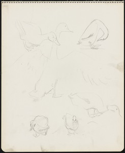 Sketches of ducks