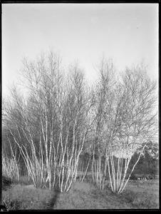 Betula populifolia Massachusetts (Near Norton)