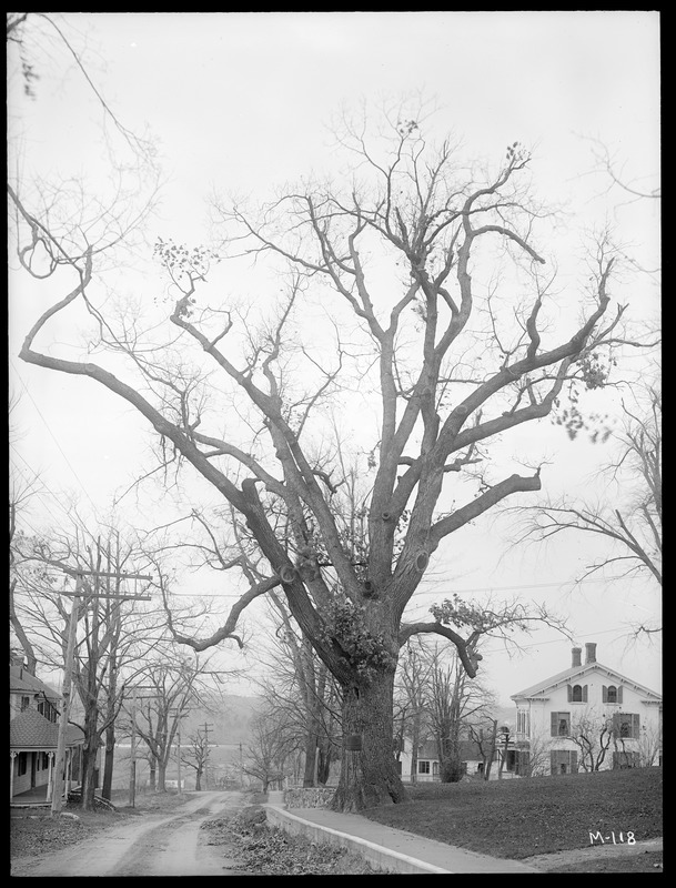 Quercas alba, The Grafton Oak Massachusetts (Grafton)