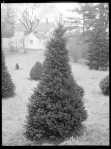 x Taxus media Massachusetts (Wellesley)