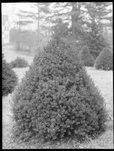 x Taxus media Hatfieldii Massachusetts (Wellesley)
