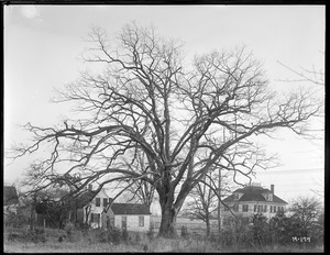 Quercus alba Massachusetts (East Mansfield)