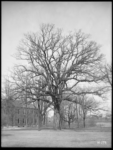 Quercus alba Massachusetts (Billerica)