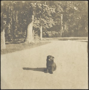 Small black dog sitting in street, trees in background