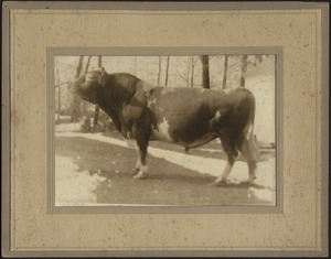 "Ashdale Farm. Bull in field, ""Dana of Buena Vista Farm"""