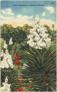 Yucca blossoms, or Spanish Bayonette