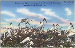 Cranes and egrets roosting in newly opened Everglades National Park, Florida