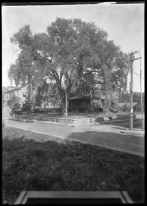 Jamaica Plain, Massachusetts. Jamaica Elm