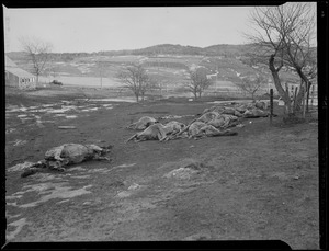 Drowned horses, New England flood