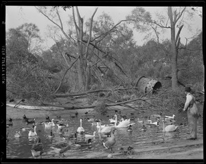 Fallen trees next to pond with ducks and geese, Franklin Pond, Hurricane of 38
