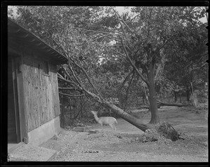 Tree uprooted in animal pen, Franklin Park Zoo, Hurricane of 38