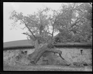 Tree falls over, Franklin Park Zoo, Hurricane of 38