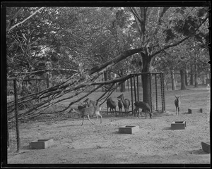 Branch down in animal pen, Franklin Park Zoo, Hurricane of 38