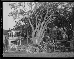 Damaged trees, Hurricane of 38