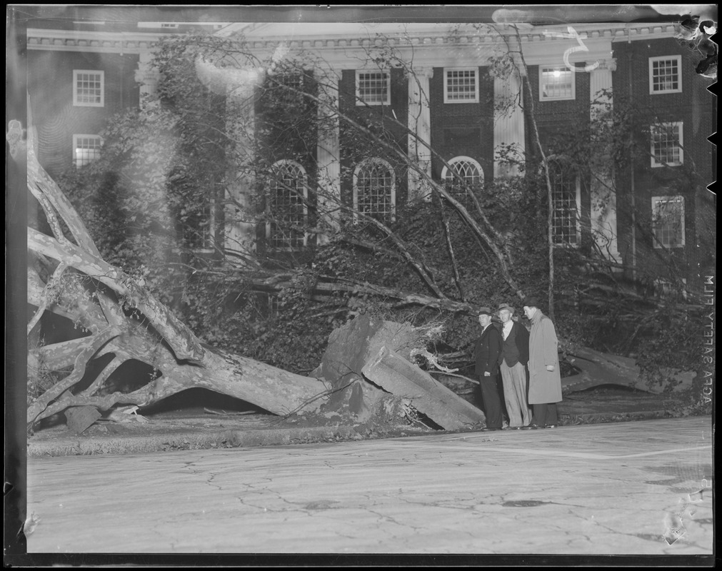 Maple tree toppled in front of Eliot House, Memorial Drive, Cambridge, Hurricane of 38