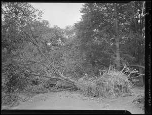 Fallen trees, Hurricane of 38