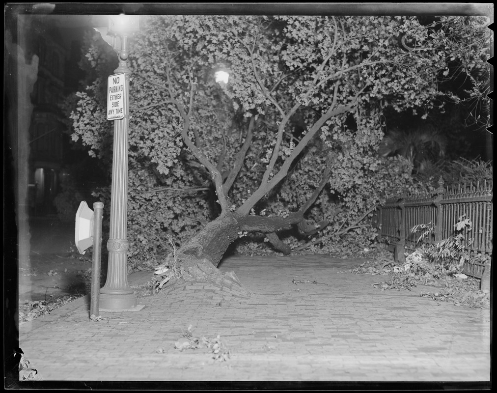 Old tree toppled next to Public Garden, Hurricane of 38