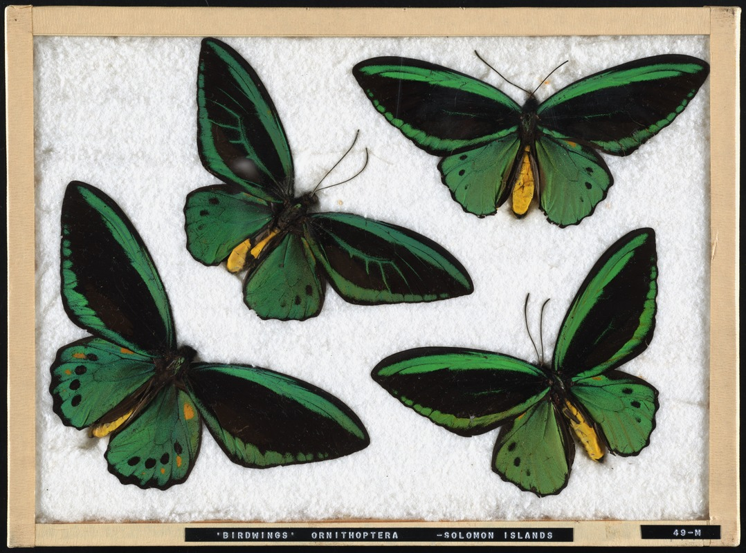 birdwing butterflies from the Solomon Islands
