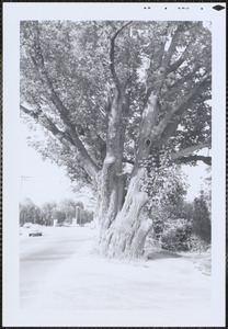 Largest ash tree in state of Mass. at Cobb's Corner, Canton