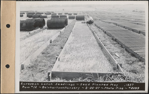 Belchertown Nursery, European larch seedlings, seed planted May 1937, row #12, Belchertown, Mass., Aug. 20, 1937