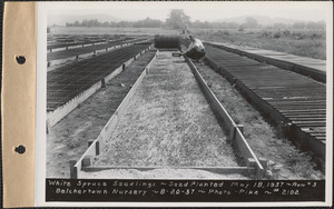 Belchertown Nursery, white spruce seedlings, seed planted May 18, 1937, row #3, Belchertown, Mass., Aug. 20, 1937