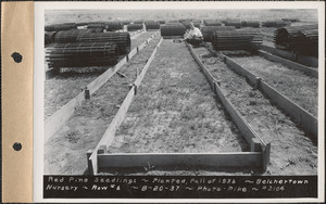 Belchertown Nursery, red pine seedlings, planted fall of 1936, row #6, Belchertown, Mass., Aug. 20, 1937