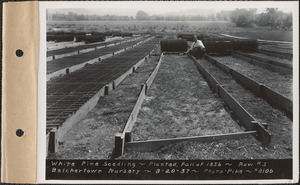 Belchertown Nursery, white pine seedlings, planted fall of 1936, row #3, Belchertown, Mass., Aug. 20, 1937