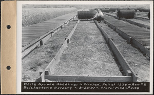 Belchertown Nursery, white spruce seedlings, planted fall of 1936, row #2, Belchertown, Mass., Aug. 20, 1937